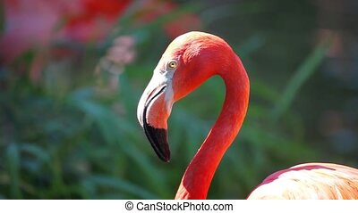 Portrait of Cuban Flamingo on a green background