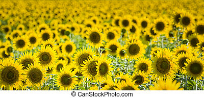 Texas Sunflower Field - Field of giant sunflowers on a sunny...