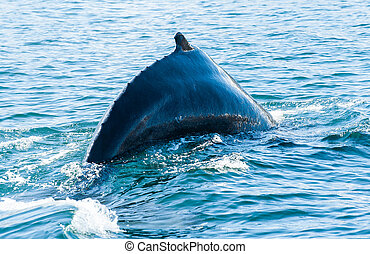 Humpback whale - Mighty Humpback whale Megaptera...