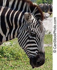 Grants Zebra - Male Grants Zebra, Equus quagga boehmi, in...