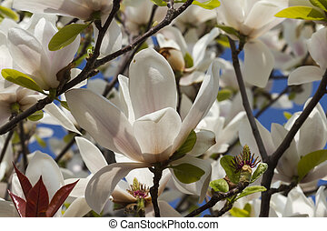 blooming magnolia flowers in spring