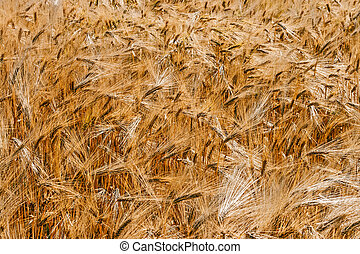 Background with wheat 6 - Background with ripe wheat, ready...