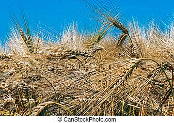 Background with wheat 7 - Background with wheat ears on a...