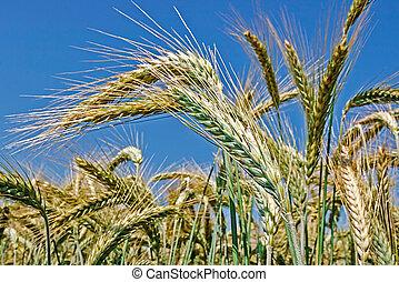 Background with wheat 9 - Background with wheat ears on a...