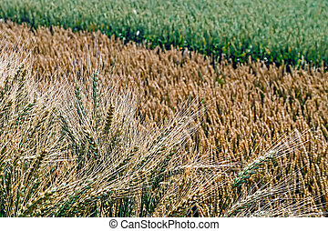 Different varieties of wheat 1
