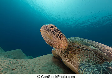 Male green turtle in the Red Sea - Male green turtle in the...