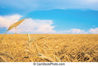 wheat spike on a gold blurred background with blue sky