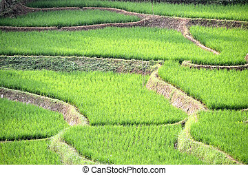 green ricefield that found many in asian countries