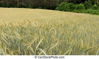Mature cereal field