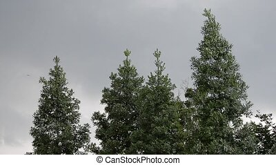 conifer trees with grey sky as background