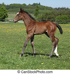 Beautiful filly on pasturage - Beautiful brown filly on...