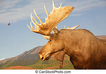 Moose in Canadian Wilderness - A bull moose in Alaska or...