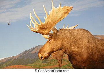 Moose, vildmark, kanadensare