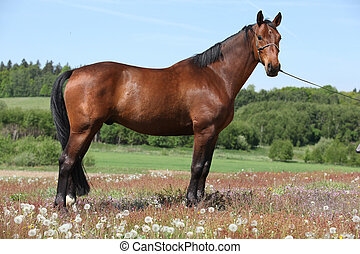 Amazing brown horse standing in nature - Amazing brown horse...