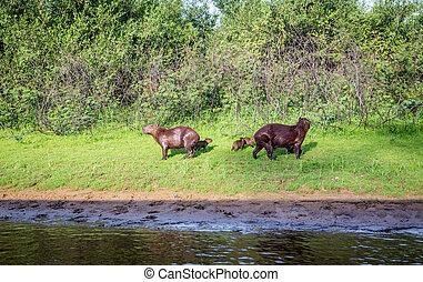 Capybara and family in Pantanal,Brazil