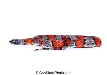 picture of a false coral snake isolated on white