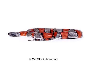image, Faux, corail, serpent