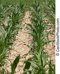 filas, plantas, maíz, campo, Árido, Terreno, 2