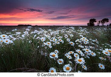 sunset over chamomilr flowers field in summer, Groningen,...