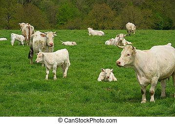 cow 28