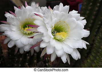 Night Blooming Cactus Flower - This cactus flower only...