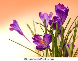 Crocus flower in the spring on orange background