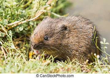 Juvenile Water Vole on Grass Bank