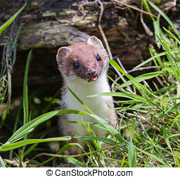 Stoat looking out of hole