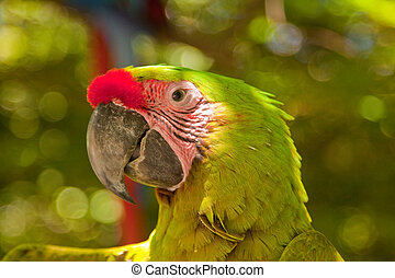 Green Macaw - Close-up of the head of a Green Macaw
