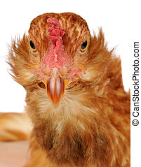 Funny Chicken Close-Up - A close-up front view of a funny...