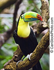 Tucan - Colorful tucan in the Zurich zoo