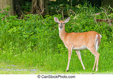 Whitetail Deer Doe - A whitetail deer doe standing at the...