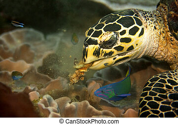 Hawksbill turtle at Phi Phi, Thailand