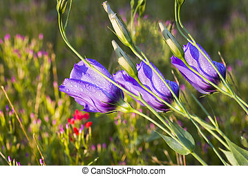 Purple Texas Wildflowers - Trio of purple wildflowers bathed...