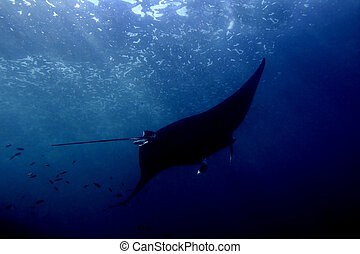Manta ray at Manta Point divesite, Bali, Indonesia