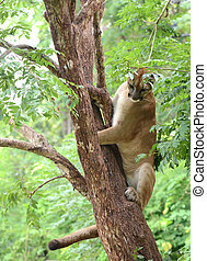 puma climbing on tree, animal enrichment in zoo