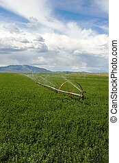 Irrigated Field - A field of alfalfa with a wheel line...