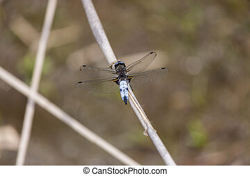 A blue dragonfly resting upon a stem
