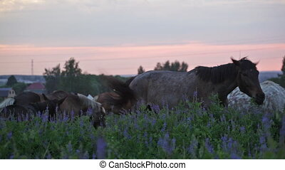 Herd of horses early in the morning in the field with...