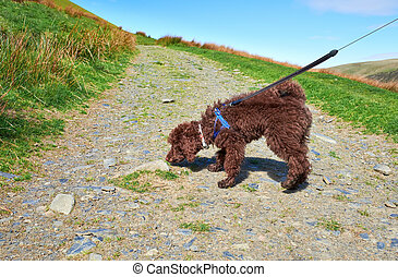 Dog Walking - A dog walking on a lead in the Lake District...
