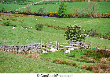 Lake District Livestock - Sheep resting in a field near...