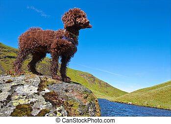 Miniature Poodle - A Miniature Poodle Standing beside a tarn...