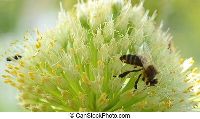 Bee Insects on a Flower (inflorescence of onions)