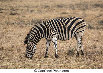 African zebra into the wilde in african savannah
