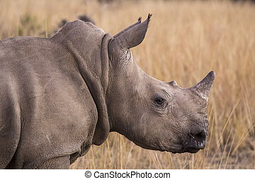 african rhino into the wilde in african savannah