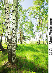 forest birch  - birch forest in sunlight in the morning