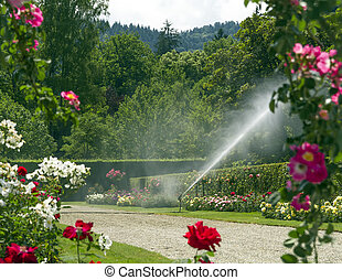 Watering the rose garden.