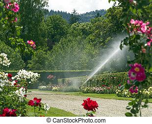 Watering the rose garden.