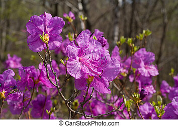 Flowers of Rhododendron 25 - A close-up of the flowers of...