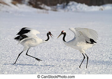 Japanese crane or Red-crowned Crane (Grus japonensis) in...